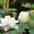 写真: White Lotus III 7-1-18