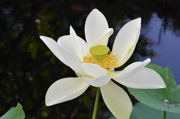 Sacred Lotus II 7-1-18