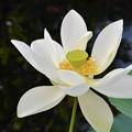 写真: Sacred Lotus II 7-1-18