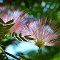 写真: Pink Powder Puff I 7-1-18