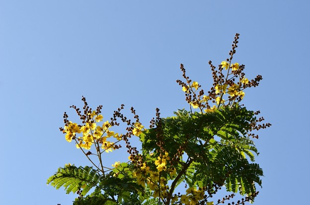 写真: Yellow Poinciana 7-1-18