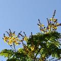 写真: Yellow Poinciana 7-1-18