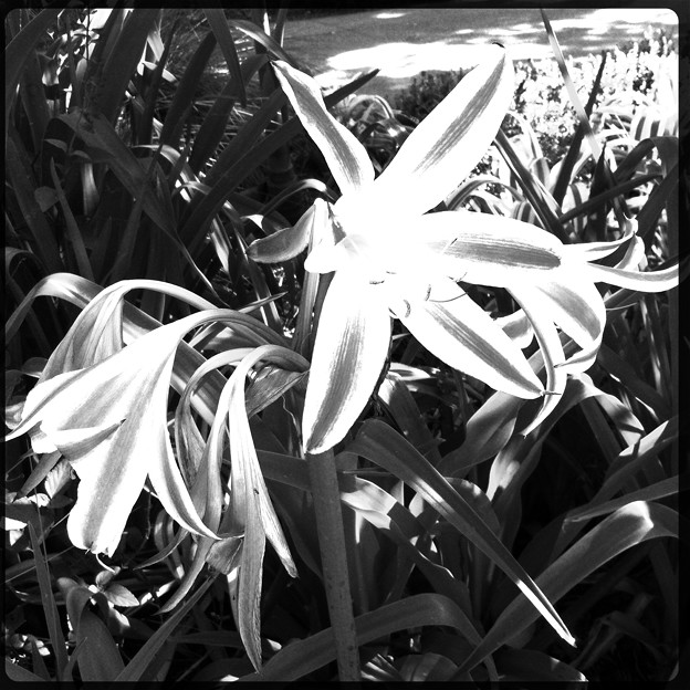 Photos: Crinum scabrum_i4_Hipstamatic280