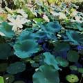 写真: Sacred Lotus_i4_Hipstamatic280_9-1-18