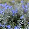 写真: Evolvulus Blue My Mind 9-1-18