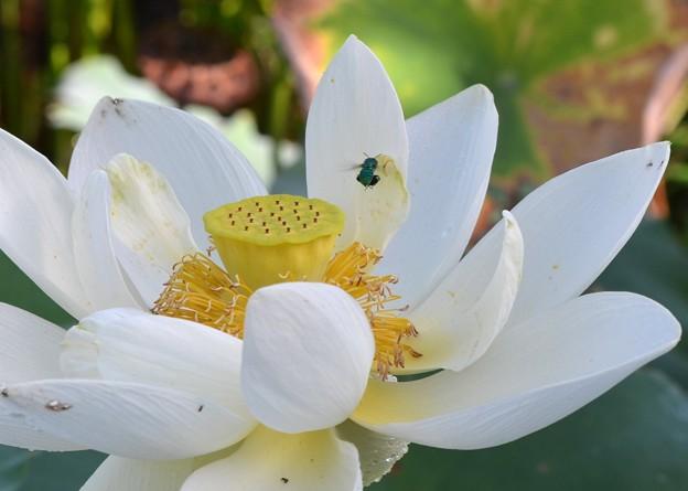 Sacred Lotus IV 9-1-18