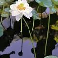 写真: Double Petal Lotus 9-1-18