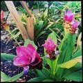 写真: Siam Tulip IV 9-1-18