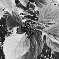 American Beautyberry III 9-1-18