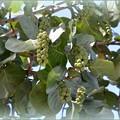 Sea Grapes I 9-1-18