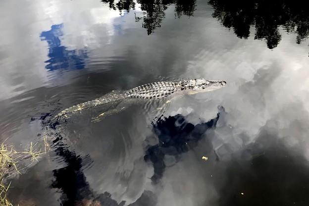 Photos: Alligator 8-24-18