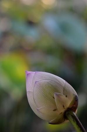 Lotus Bud I 9-15-18