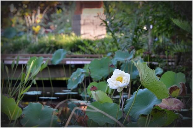 White Lotus 9-15-18
