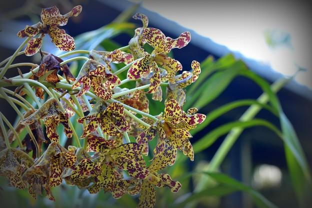 Photos: Tiger Orchid 9-15-18