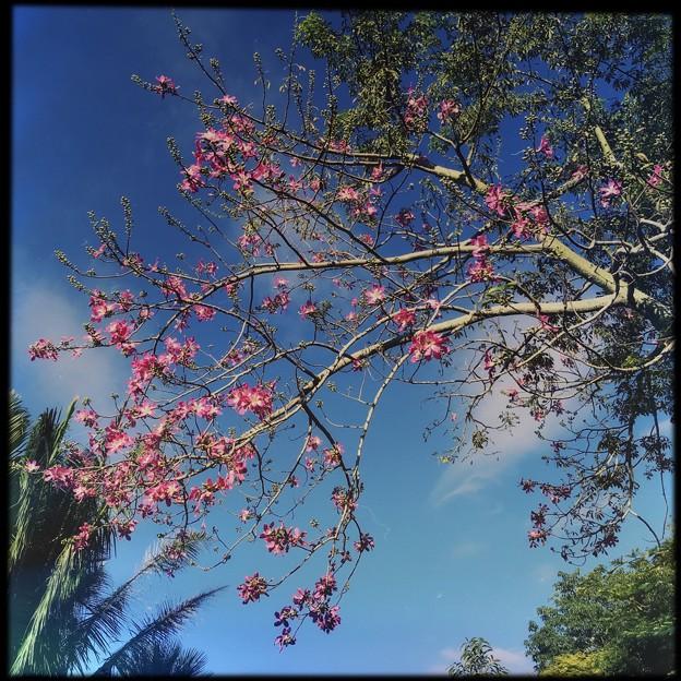 Silk Floss Tree III 9-15-18
