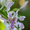 写真: Orchid II 9-15-18