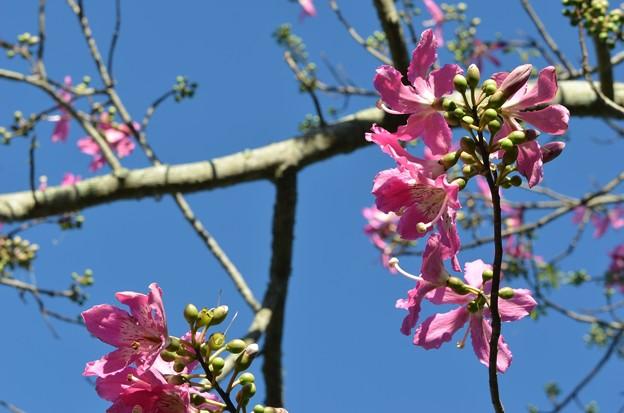 Silk Floss Tree I 9-15-18