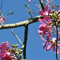 写真: Silk Floss Tree I 9-15-18