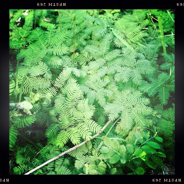 Sunshine Mimosa I 9-15-18