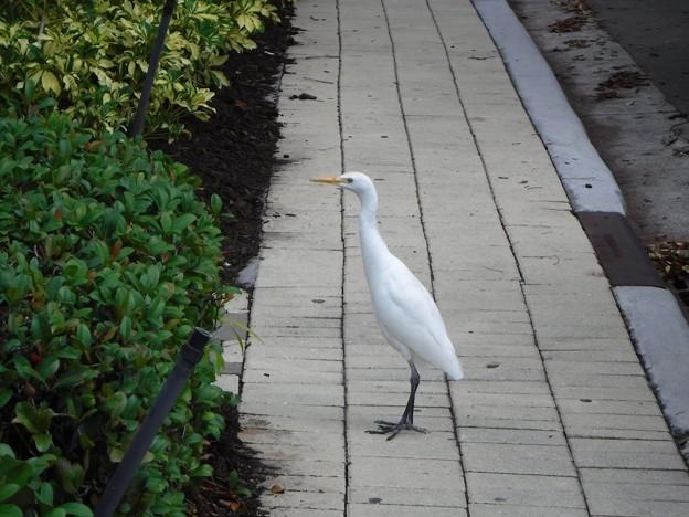 Cattle Egret 12-15-18