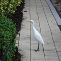 Photos: Cattle Egret 12-15-18