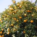 柑橘系 2019-1-16