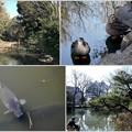 鴨と鯉のいる池 2019-1-17