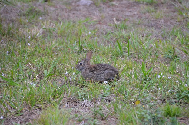 Eastern Cottontail1 3-18-19