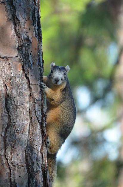 Fox Squirrel 3-23-19