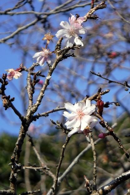 十月桜 2019-1-23