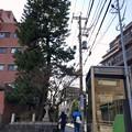 Photos: 一本松坂の一本松 2019-1-30