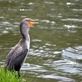 Photos: Double-Crested Cormorant 4-13-19
