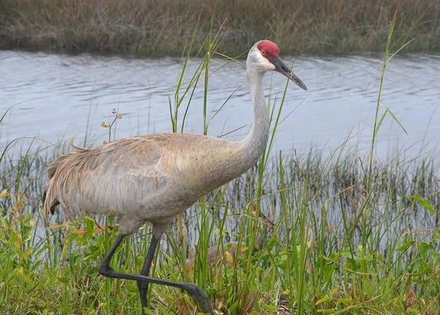 Florida Sandhill Crane 4-14-19