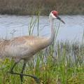 Photos: Florida Sandhill Crane 4-14-19