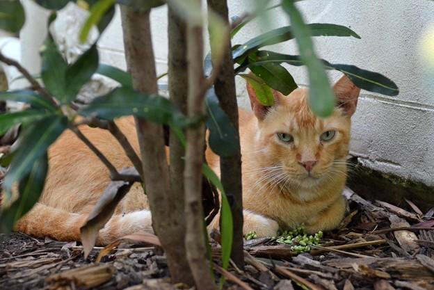 Shy Marmalade Kitty 6-8-19