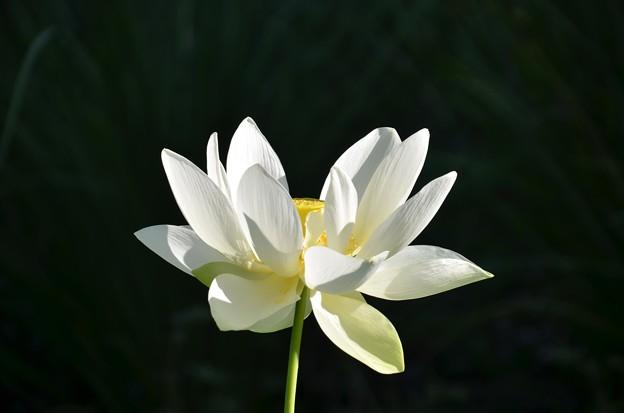 Lotus 1 7-20-19