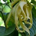 Photos: Ylang-Ylang Tree 7-20-19