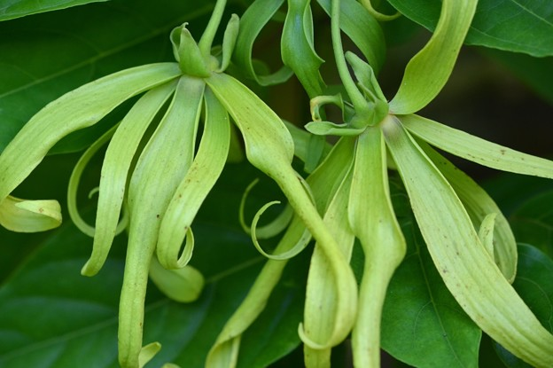 Green Ylang-Ylang 7-20-19