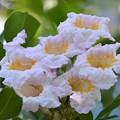 Photos: Tree Jasmine 7-20-19