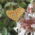 アベリア  と蝶