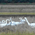Photos: 今年の初白鳥