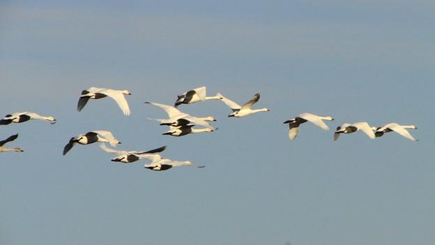写真: 小白鳥群