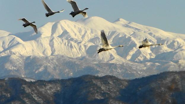 写真: 白山と白鳥