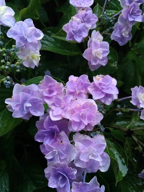 6/23 相模原北公園の紫陽花