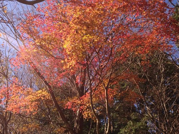 金時山ハイキング、途中の紅葉