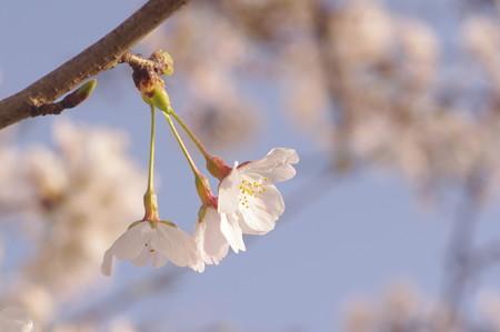 散歩道の桜(2018年春)