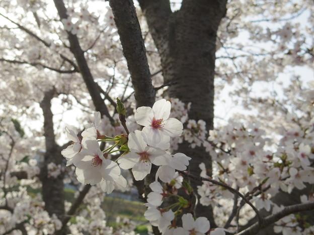 写真: 散歩道の桜(2018年春)