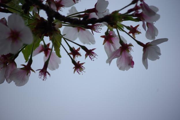 散歩道の葉桜(2018年)