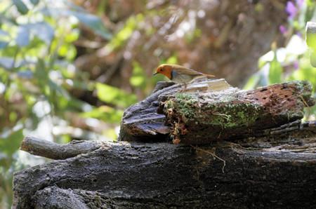 深山公園のコマドリ