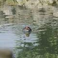 写真: 自然環境体験公園のカイツブリ(2018年5月)